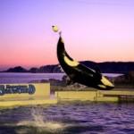 鴨川シーワールド、シャチの特別パフォーマンス「スプリング・トワイライト・スペシャル2014」を実施!