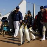 間近で見られるペンギンの大行進 「オウサマペンギンの園内散歩」開催中!